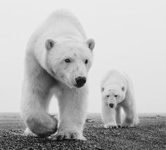 An exclusive safari led by professional award-winning photographer, David Yarrow. Experience the icy wilderness of Svalbard encountering polar bears and more Arctic wildlife, and learn how to take the best photographs. Wildlife Photography, Animal Photography, Lucky Picture, David Yarrow, Animals And Pets, Cute Animals, Photo Animaliere, Black And White Photography, Pet Birds