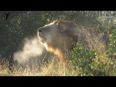 Lion Roaring - Steaming Breath!