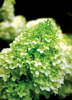 Hydrangea paniculata 'Limelight' in the lime green stage of it's flowering cycle. #hydrangeapaniculata #hydrangea