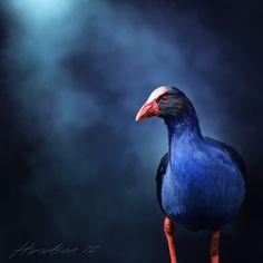 Pukeko on the Prowl Big And Beautiful, Beautiful Birds, I Like Birds, New Zealand Art, Nz Art, Big Bird, Archetypes, Pet Portraits, Art Pictures