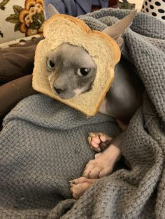 Ever seen a hairless cat breaded? Ever seen a hairless cat breaded? Baby Animals, Funny Animals, Cute Animals, Puppies And Kitties, Kittens, Cute Hairless Cat, Sphinx Cat, Cat Aesthetic, Cat Facts