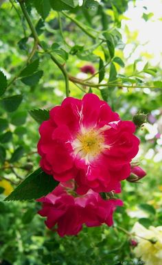 'Purpurtraum' Rose Photo