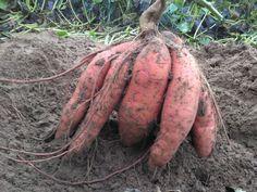 Így lesz tele a kerted édesburgonyával, röhejesen olcsó megoldás Garden Art, Garden Design, Home And Garden, Tropical Plants, Vegetable Garden, Organic Gardening, Container Gardening, Food And Drink, Vegetables
