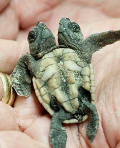 Encuentran cría de tortuga con dos cabezas en Jupiter Island, Florida - Two-headed turtle: Hatchling found on northern Jupiter Island