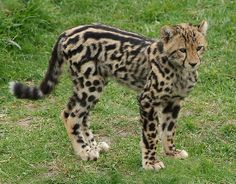 Scout, a old female King Cheetah cub. Such a pretty little girl. I Love Cats, Big Cats, Cats And Kittens, Siamese Cats, Rare Animals, Animals And Pets, Wild Animals, Beautiful Cats, Animals Beautiful