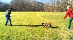 Schutzhund puppy training