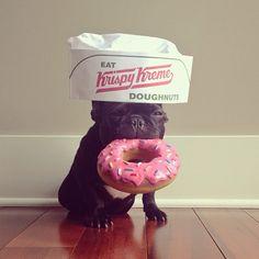 French bulldog (Frenchie) eating Krispy Kreme doughnut wearing hat, by Sonya Yu Funny Dogs, Funny Animals, Cute Animals, Love Dogs, Pug Love, Trotter, Pugs, Chihuahuas, Amor Pug