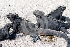These black marine iguanas found only in the Galapagos Islands, warm in the sun.