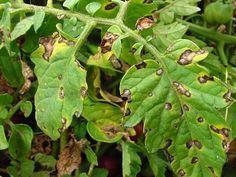 Tratamente bio pentru rosii - cum scapam de bolile tomatelor - Mananca Bio