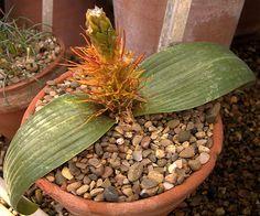 Massonia marginata Cacti And Succulents, Planting Succulents, Planting Flowers, Rock Garden Plants, House Plants, Bulbous Plants, Cactus Plante, Rare Plants, Container Flowers
