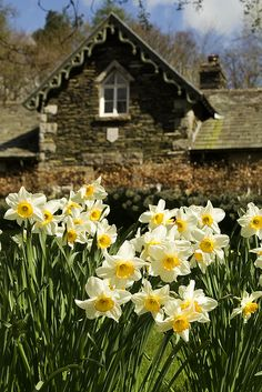 Daffodils at Lake Windermere, Lake District, Cumbria, England Beautiful Flowers, Beautiful Places, Exotic Flowers, Purple Flowers, Spring Breakers, English Countryside, Mellow Yellow, Lake District, Daffodils