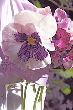2 purple pansies