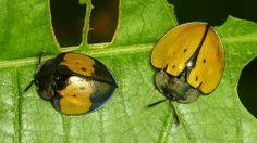 Tortoise beetles, Cassidinae
