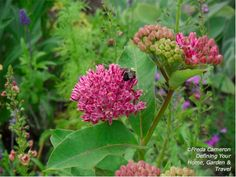 Defining Your Home, Garden and Travel: Purple Milkweed Blooms Create a Buzz