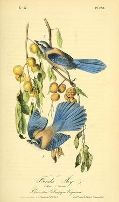 1842, v 4 - The birds of America :John James Audubon - Biodiversity Heritage Library  -  Florida Jay