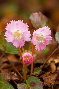 北茨城春5花イワウチワ編 早春の花の中で印象深いものの二つ目を紹介します。 今... Wonderful Flowers, Beautiful Flowers Garden, Love Flowers, Purple Flowers, Beautiful Gardens, Unique Plants, Exotic Plants, Exotic Flowers, Alpine Plants