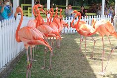 Fun fact: The West Indian flamingo is the National Bird of The Bahamas and it is protected by law!