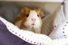 Guinea pig cages. Make certain that your gorgeous guinea pigs currently have the best things in life. A large guinea pig cage, or run, not only can make all of them more pleasurable to view, but ensures they get the workout that they require to be able to keep fit and healthy.