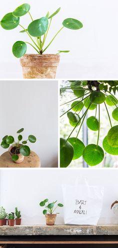 plante verte design pilea peperomioides ou plante monnaie chinoise jardin et plantes. Black Bedroom Furniture Sets. Home Design Ideas