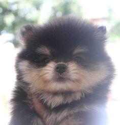 black and tan Pomeranian (fairly rare)