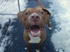"""TO BE DESTROYED SUN, 2/23 /14 Manhattan Ctr CUVIER A0982594  RETURNED 2/14/14 NEUTERED MALE BRWN/WHT PIT MIX 2.4YRS  RETURN  This 2 yr old loves exercise: good run, hike, walk, ball or Frisbee toss. Lived w/ 4 adults, likes all people & children, knows """"sit"""", is crate trained & housetrained.  Gets excited around other animals -wants to play, is very playful/active and is a """"loveable dog"""". He's a joy to watch run, play ball, a sweet snuggler and an all around good boy."""