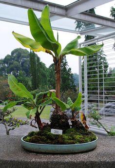 A banana bonsai is a  2014 project .. 4 ME..... j michael