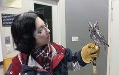 Eastern Screech owl sits relaxed on Jeans hand - Mountsberg Raptor Centre