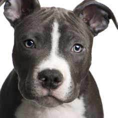 pitbull puppy! :) they are really so sweet!