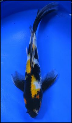 White butterfly koi wanted name will be obake for Butterfly koi fish aquarium