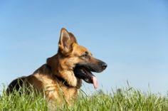 Grooming a German Shepherd Dog - PetCareRX