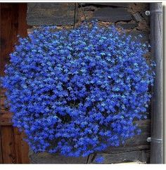 Whole Hanging Plant Seeds Flower Potted Flowers Orchid Flax Seed Sky Blue China