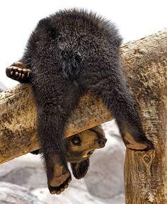 upside down bear cub