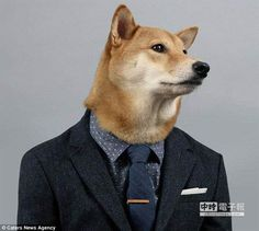 Here's What You Should — And Shouldn't — Wear On A Job Interview Akita Dog, Shiba Inu, Menswear Dog, Funny Animals, Cute Animals, Japanese Dogs, Dog Grooming Tips, Pet Dogs, Pets
