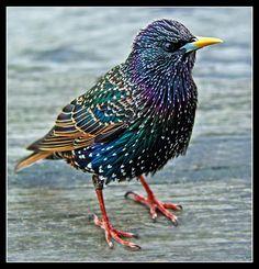 Another Common Starling (Sturnus Vulgaris) | Flickr - Photo Sharing).