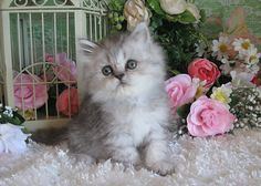 Shaded silver Persian kitten♥
