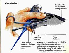 Clip your parakeet's wings