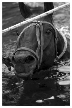 Fun fact: They condition polo ponies for matches by making them swim back and forth!