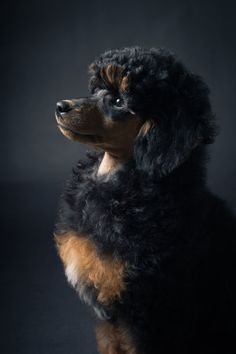 I have never seen a poodle this color, or with these markings. Proud Poodle Puppy by endorPHIEN.deviantart.com on @DeviantArt