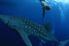 Scientists track #whale #sharks with cheap radio-frequency identification tags - The Washington Post