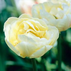 Montreux tulip (Tulipa 'Montreux') bears fluffy white, peony-style blooms that feature brushstrokes of the palest pink on the outer petals. It grows 2 feet tall. Zones 3-8