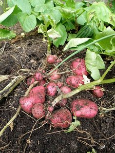 If you love potatoes but have never tasted a homegrown one, you definitely need to try growing potatoes. Potatoes are cool-season vegetables and preoduce best in northern regions. Root Veggies, Growing Veggies, Growing Plants, Fruit Garden, Edible Garden, Garden Plants, Permaculture, Container Gardening, Gardening Tips