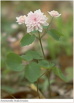 Rue anemone, Anemonella thalictroides in a double pink form