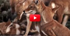 I Never Knew Just How Amazing Ethiopian Wolves Were! Take A Look At This Marvelous Pack! | The Rainforest Site Blog