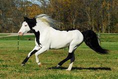 American Shetland Pony   ... Magazines - General Pony Discussion - American Shetland Pony Forum