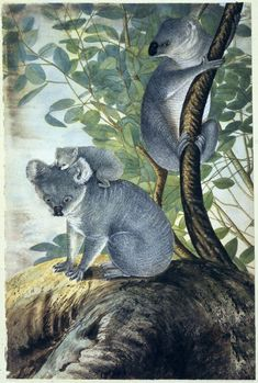 John Lewin, 'Coola, an animal of the oppossum tribe from New South Wales', watercolour on paper, [1803], British Library.