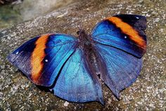 The Indian Leaf butterfly (Kallima limborgii amplirufa)