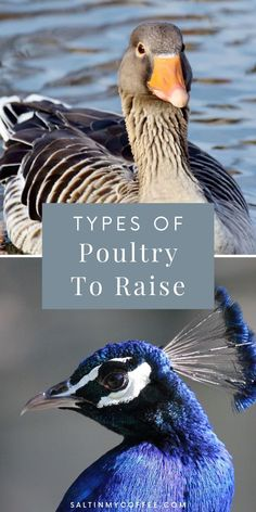 There's actually a really big benefit to keeping more than one species of poultry on a farm or homestead. Many types of poultry can be raised together peacefully, allowing benefits like a more continual supply of eggs. If you breed poultry, it also makes it so you can offer purebred chicks, ducklings, keets, and poults for sale without the hassle of maintaining separate breeding pens, as would be necessary if raising just multiple chicken breeds. Check out the pros Raising Quail, Raising Farm Animals, Raising Ducks, Raising Chickens, Backyard Coop, Backyard Ducks, Chickens Backyard, Chicken Feed, Chicken Runs