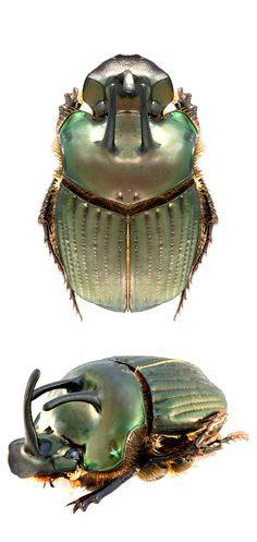 phanaeus bispinus