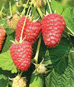 Choose from our complete collection of fruit plants and seeds for sale including berries, grapes, melons & more. Shop high-yield fruit seeds for your home garden at Burpee. Raspberry Bush, Raspberry Plants, Fruit Plants, Raspberry Tree, Gardening Raspberries, Growing Raspberries, Quick Garden, Homestead Gardens, Cottage Garden Plants