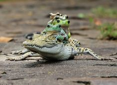 The small tree frogs, which vary in colour from bright green to brown, can be seen clinging onto each other as they hitch the free ride on the caiman's back in Tangerang in Indonesia.
